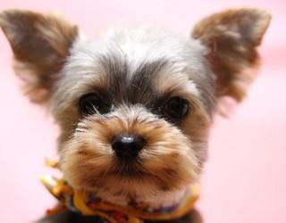 飼いやすい犬ランキング3位・ヨークシャテリア